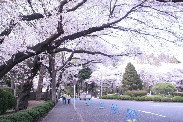 2011sakura01