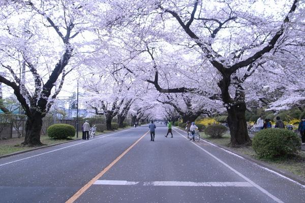 2011sakura02