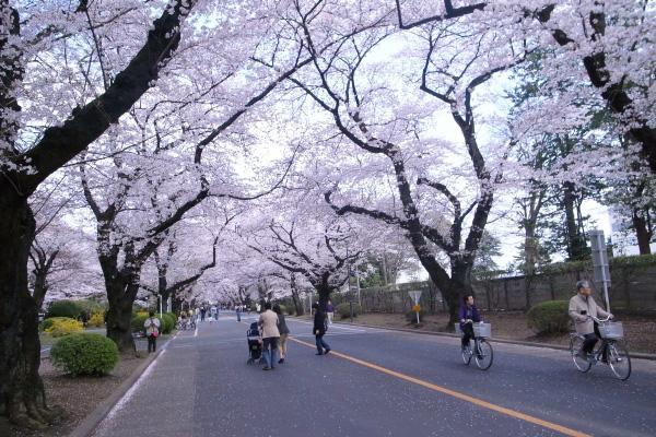 2011sakura03