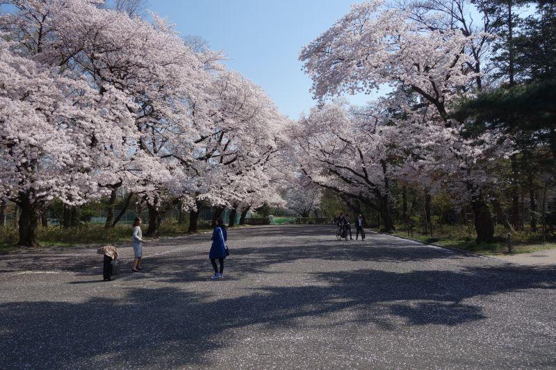 icusakura20150405